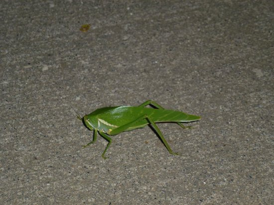 ‪‪Occidental Tamarindo‬:                   Neat green bug we saw on our sidewalk outsideour room