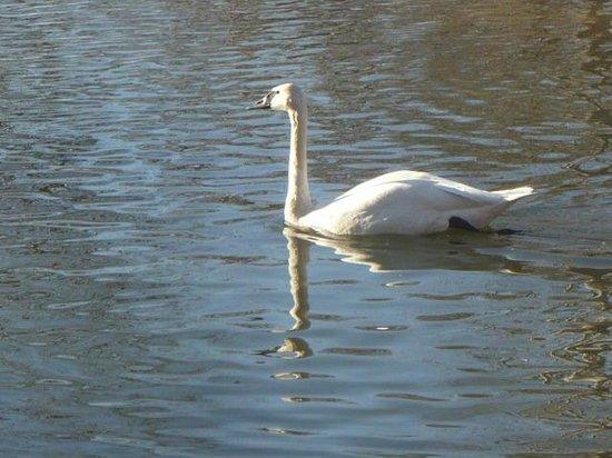 Clark Gardens Botanical Park:                                     BEAUTIFUL SWAN