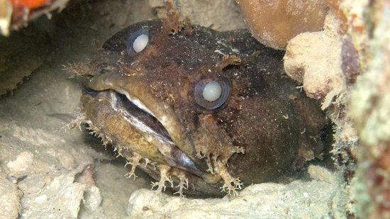 Bocas Water Sports:                                     Big Eye Toadfish
