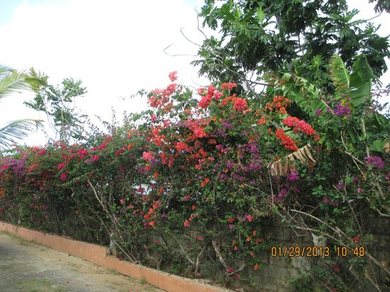 Hidden Paradise Resort Hotel:                   Bougainvilla & Hibiscus bloom along the fence at H.P.