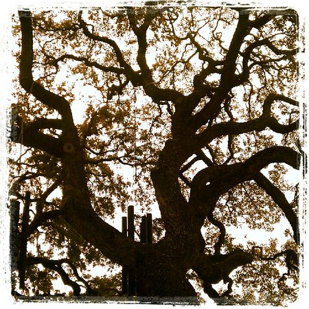 Gruene Historic District:                   Old Oak tree outside of Black Swan Antiques
