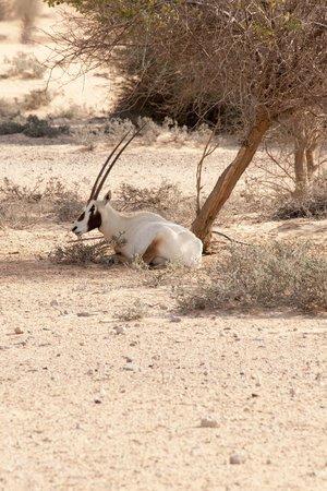 منتجع المها الصحراوي:                   Wildlife                 