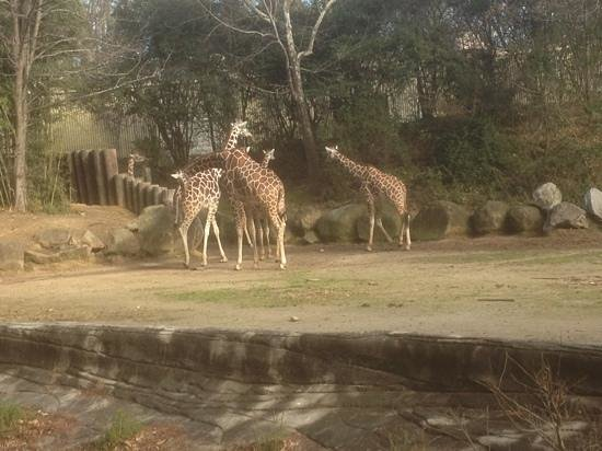 Riverbanks Zoo and Botanical Garden:                   giraffe