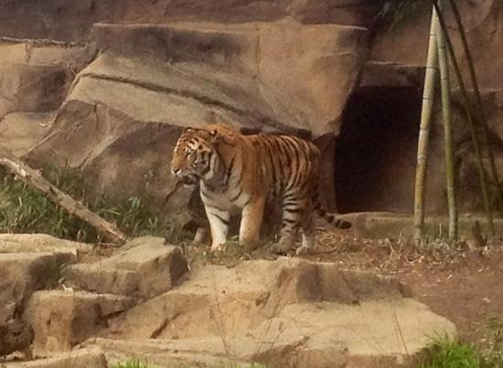 Riverbanks Zoo and Botanical Garden:                   tiger                 