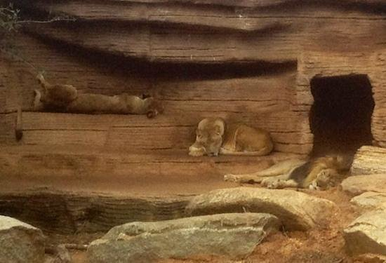 Riverbanks Zoo and Botanical Garden:                   lions