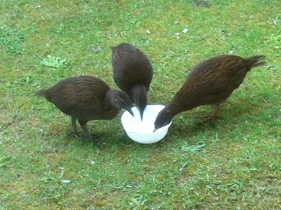 Lochmara Lodge - Wildlife Recovery and Arts Centre:                   Weka feeding