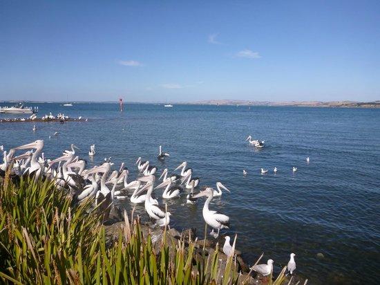 Phillip Island Nature Park:                   ペリカンたち