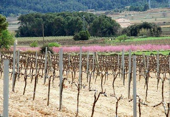Ca La Laia : viñedo en primavera