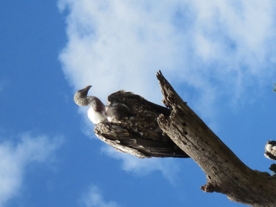 Bright African Safaris: My lovely vulture