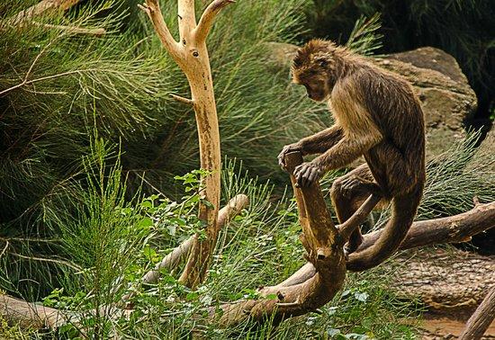 Safari Park:                   Weeper capuchin