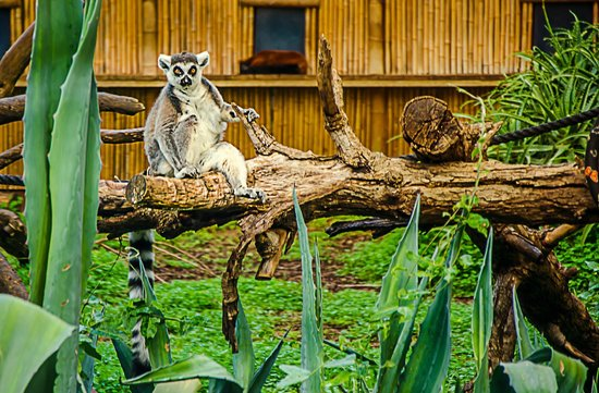 "Safari Park:                   ""King Julian"""