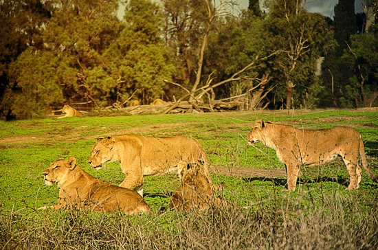 Safari Park :                   Lions family