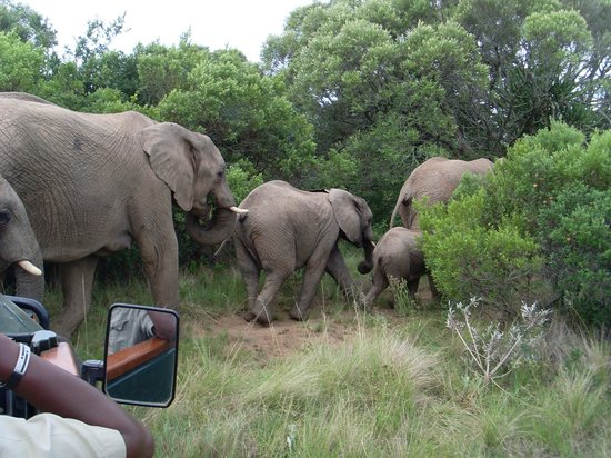 Kariega River Lodge:                   elephants passing in front of the jeep