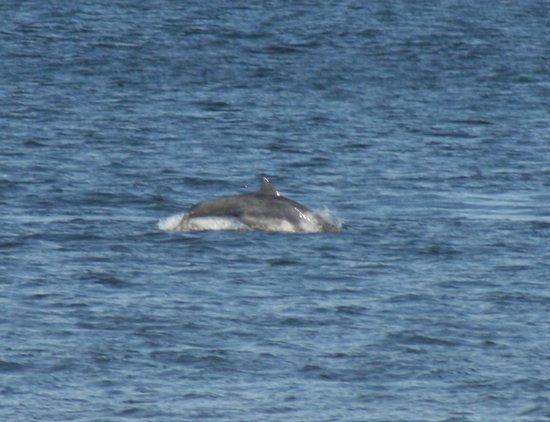 WDC Scottish Dolphin Centre:                   Dolphin at Spey Bay