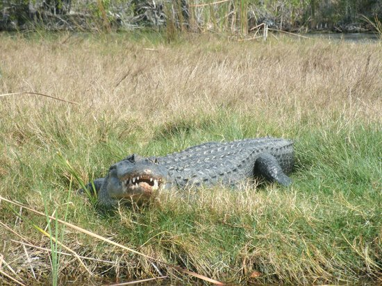 "Capt Mitch's - Everglades Private Airboat Tours:                   I think the gators are trained to ""smile"" for the camera's!!  LOL"