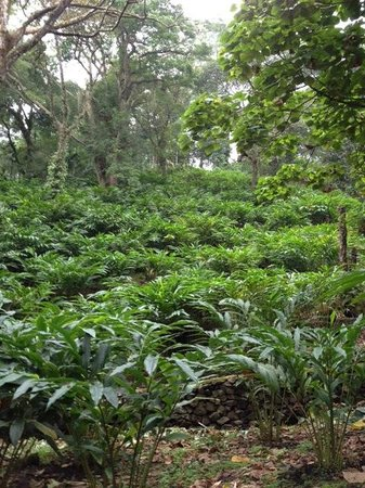 Kaivalyam Retreat:                                     cardamom plantation right next door