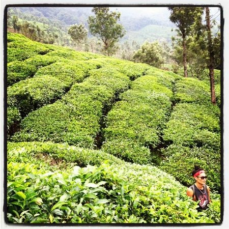 Kaivalyam Retreat:                                     tea plantation that leads in to the retreat