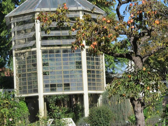 Orto Botanico:                   Goethe's Palm house, persimmon tree in foreground