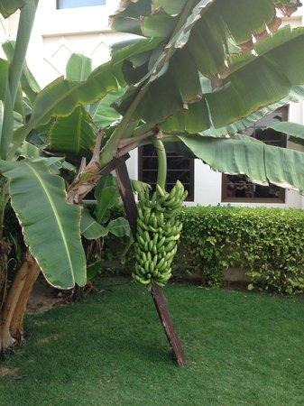 Clubhotel Riu Karamboa:                   bananas