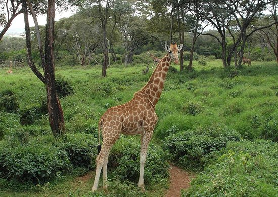 African Fund for Endangered Wildlife (Kenya) Ltd. - Giraffe Centre: жираф