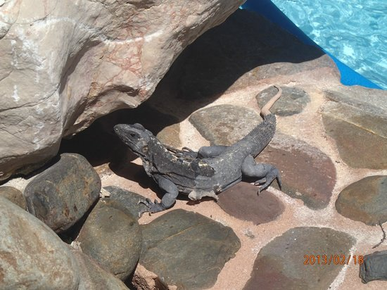 Xanadu Island Resort:                   Resident Iguana at the pool