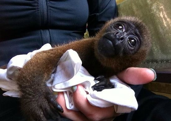 La Isla De Los Monos:                   Neeko, baby Wooly Monkey, who was rescued from a market in January 2013