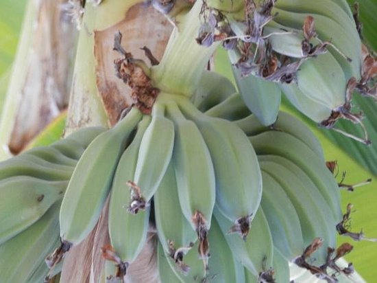 Theo Sunset Bay Holiday Village:                   Banana trees growing in the grounds