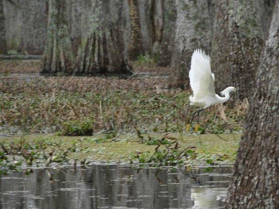 Champagne's Cajun Swamp Tours:                   Snowy Egret