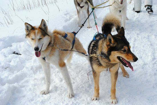 Muddy Paw Sled Dog Kennel - Day Tours:                   Our lead dogs