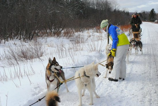 Muddy Paw Sled Dog Kennel - Day Tours:                   Checking to make sure the lines aren't tangled