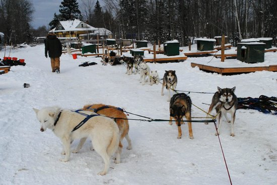 Muddy Paw Sled Dog Kennel - Day Tours:                   Our team all hooked up and ready to go