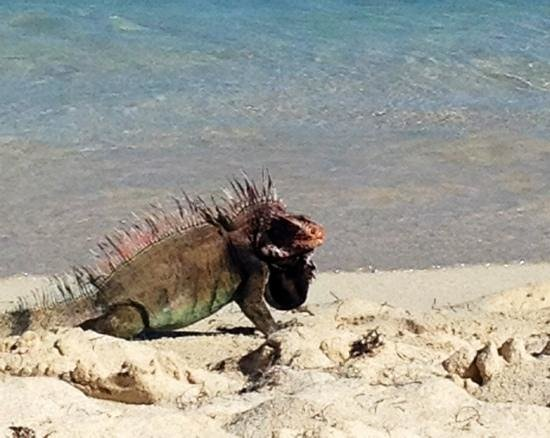 Crystal Cove Beach Resort on Sapphire Bay:                                     iguanas roam the beach at crystal cove