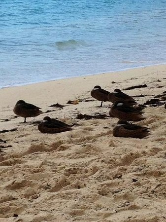 Crystal Cove Beach Resort on Sapphire Bay:                                     duck family at crystal cove