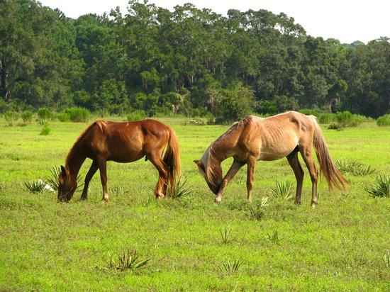 Cumberland Island National Seashore:                   Horses