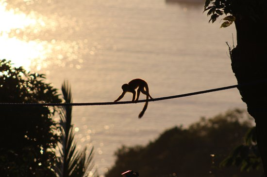 Tulemar Resort:                   White faced monkey