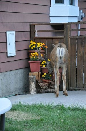 Banff Log Cabin B&B:                   Deer beside the log cabin eating flowers...
