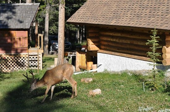 Banff Log Cabin B&B:                   Deer beside the log cabin