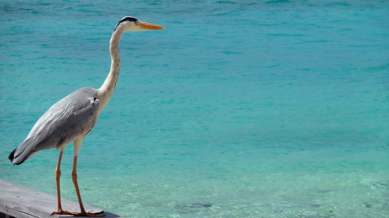 W Maldives:                                     A big bird in the island