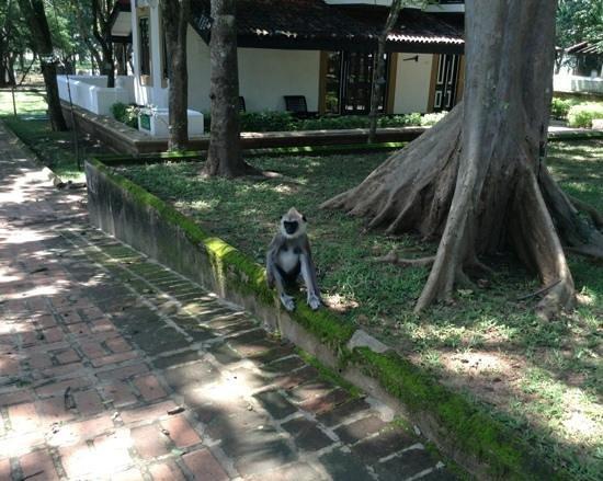 Cinnamon Lodge Habarana:                   black faced grey langer monkey