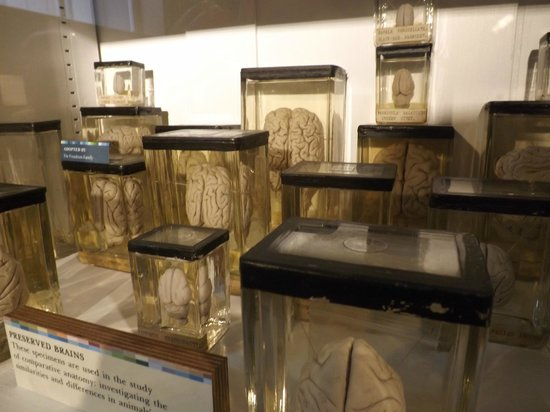 Grant Museum of Zoology:                   Animal brains
