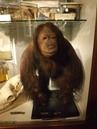 Grant Museum of Zoology:                   Stuffed monkey