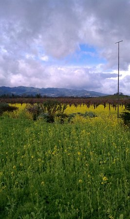 Frog's Leap Winery:                   Picture of a vineyard