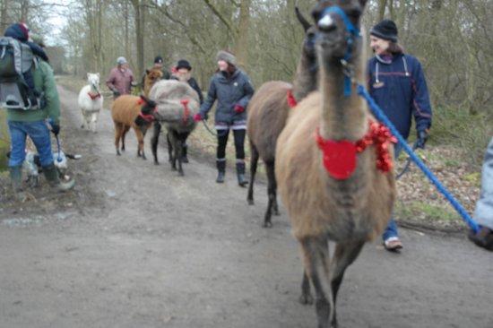 Abbey Llamas :                   Our group walking the llamas and alpacas