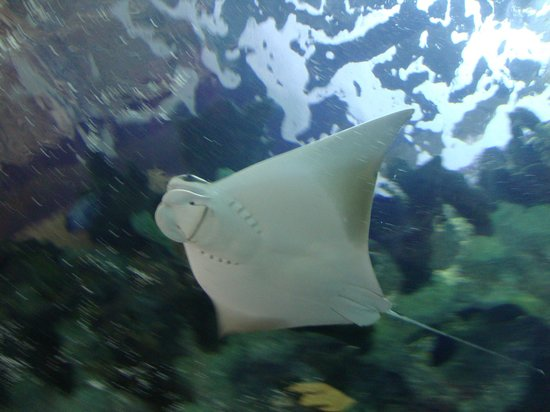 Newport Aquarium:                   Ray
