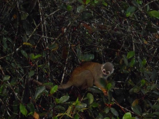 La Selva Amazon Ecolodge:                   Monos Ardilla, Barizos o Squirrel Monkey!