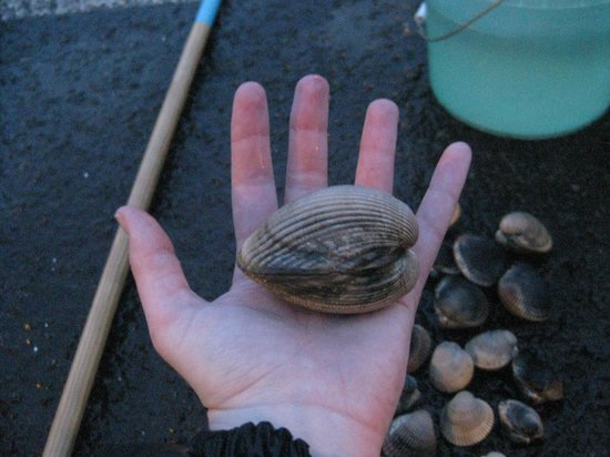 Harborview Inn & RV Park :                   One of the biggest cockles we caught.