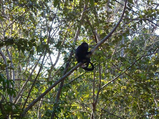 Hotel Punta Islita, Autograph Collection:                   Howler monkeys live on the property.
