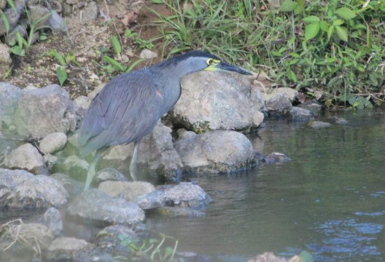 Bosque del Cabo Rainforest Lodge:                   Bare-throated tiger heron, taken on bird tour on road to Pt Jimenez