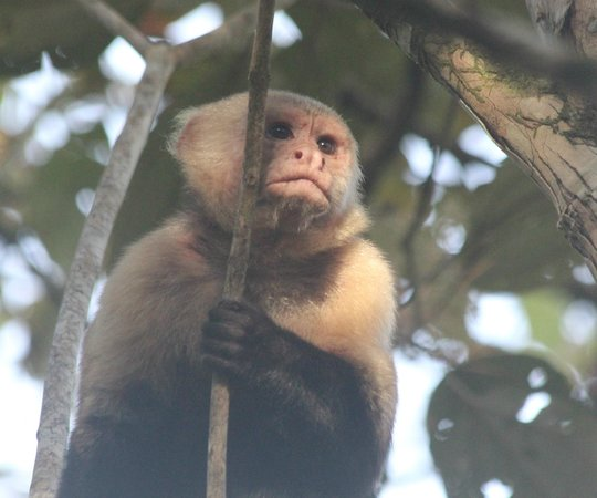 Bosque del Cabo Rainforest Lodge :                   White faced capuchin monkey acting as lookout for his troop