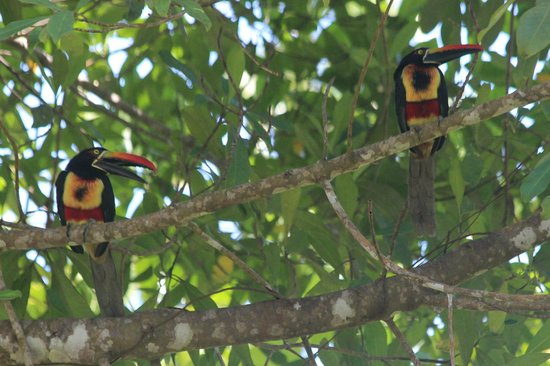 Bosque del Cabo Rainforest Lodge :                   Fiery-billed aracaris